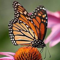 Le Lacher de Papillons vivants