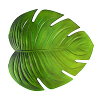 Grande Feuille Verte Tropicale Monstera