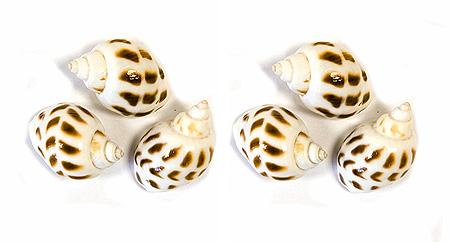 6 Petits coquillages blancs décoration
