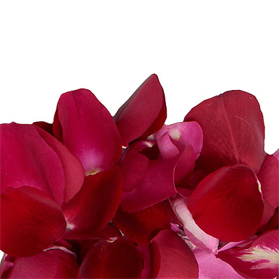 Pétales de roses rouge frais